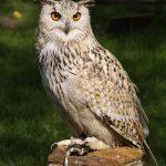 eagle-owl-377192_640