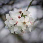 cherry-1216721_640
