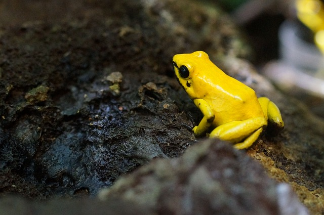 poison-frog-885594_640