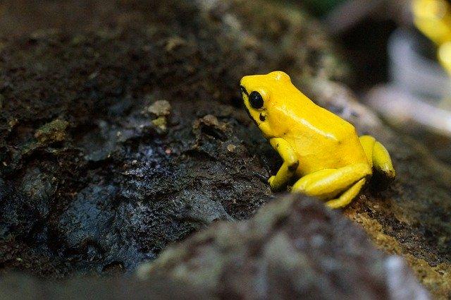 poison-frog-885594_640