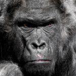 gorilla-752875_640 (1)