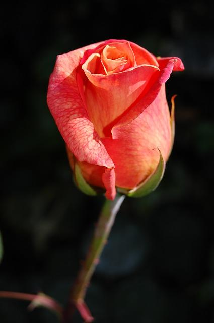 rose-263234_640