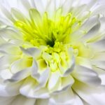 chrysanthemum-1010114_640
