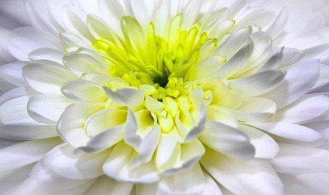 chrysanthemum-1010114_640