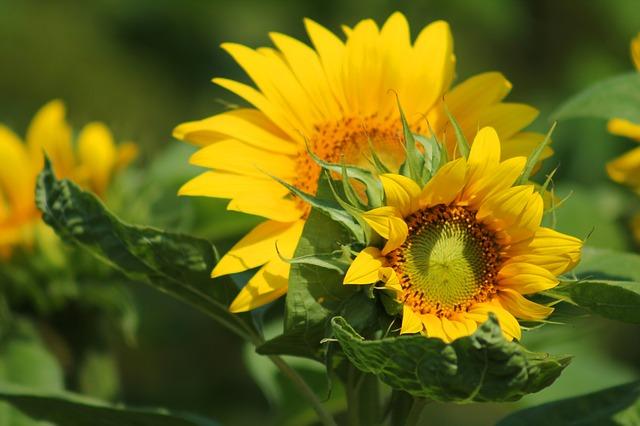 sunflower-547318_640